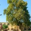 платан juma-mosque-derbent-most-ancient-russia-old-trees-platanus-orientalis-yard-republic-dagestan-russia-85035392.jpg